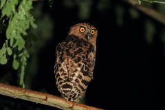 Buffy Fish Owl Royalty Free Stock Photo