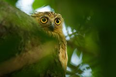 Buffy Fish Owl - Ketupa ketupu known as the Malay fish owl, is a species of owl in the family Strigidae. Buffy Fish Owl - Ketupa ketupu or Malay fish owl, is a stock images