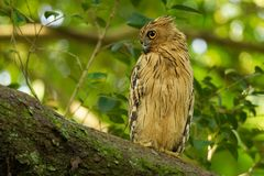 Buffy Fish Owl - Ketupa ketupu known as the Malay fish owl, is a species of owl in the family Strigidae. Buffy Fish Owl - Ketupa ketupu or Malay fish owl, is a stock photo