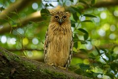 Buffy Fish Owl - Ketupa ketupu known as the Malay fish owl, is a species of owl in the family Strigidae. Buffy Fish Owl - Ketupa ketupu or Malay fish owl, is a stock image