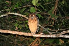 Buffy fish owl Ketupa ketupu at night - Borneo Malaysia Asia stock photos