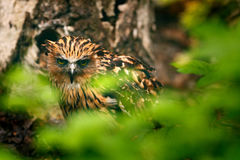 Buffy Fish-owl, Ketupa ketupu, rare bird from Asia. Malaysia beautiful owl in the nature forest habitat. Bird from Malaysia. Fish stock photography