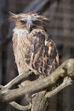 Buffy fish owl Royalty Free Stock Photos