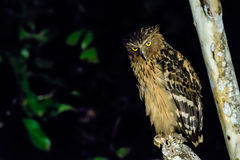 Buffy fish owl looking for food Stock Photo