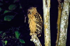 Buffy fish owl looking for supper Royalty Free Stock Photo