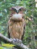 Buffy fish owl Stock Photo