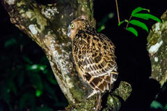 Buffy fish owl at night Stock Images