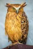 Buffy Fish Owl portrait close up of yellow eyes Stock Photography