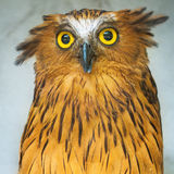 Buffy Fish Owl portrait close up of yellow eyes Stock Images