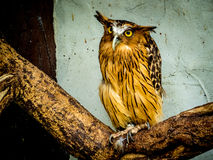 Buffy Fish Owl portrait stock images