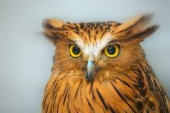 Buffy Fish Owl portrait close up of yellow eyes Stock Photo