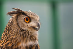 Buffy Fish Owl. Potrait of the owl with clear blue background royalty free stock images