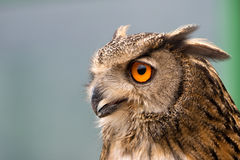 Buffy Fish Owl. Potrait of the owl with clear blue background Stock Images