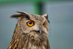 Buffy Fish Owl. Potrait of the owl with clear blue background stock photography