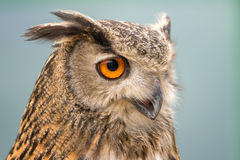Buffy Fish Owl. Potrait of the owl with clear blue background Stock Photos