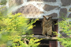 Buffy fish owl Royalty Free Stock Images