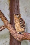 Buffy fish owl sitting on a tree Royalty Free Stock Images