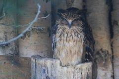 Buffy fish-owl Stock Photography