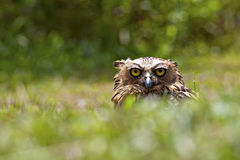 Buffy Fish Owl Staring Imagem de Stock