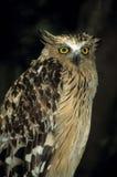 Buffy Fish-owl Royalty Free Stock Photography