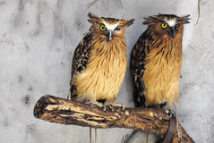 Buffy fish owls royalty free stock photos