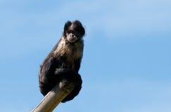 Buffy Headed Capuchin. A buffy headed capuchin sitting on a tree stump stock photos