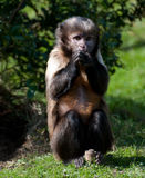 Buffy Headed Capuchin Royalty Free Stock Photography