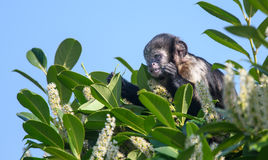 Buffy Headed Capuchin Stock Images