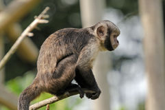 Buffy-headed Capuchin Monkey Stock Photos