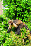 Buffy-headed Capuchin Monkey Royalty Free Stock Photography