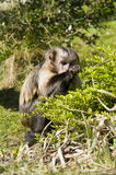 Buffy-headed Capuchin Monkey Stock Images