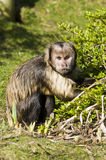 Buffy-headed Capuchin Monkey Royalty Free Stock Images