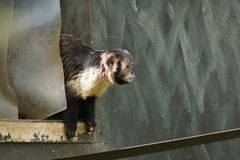 Buffy-headed Capuchin - Sapajus xanthosternos Stock Photography