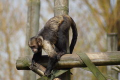 Buffy-headed Capuchin - Sapajus xanthosternos Royalty Free Stock Image