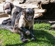 Buffy Headed Capuchin. A buffy headed capuchin sittinging on the grass, eating royalty free stock image