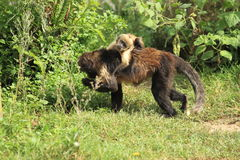 Buffy-headed tufted capuchin. With the juvenile on her back stock photo