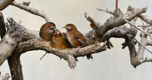 Buffy Laughingthrush Stock Photo