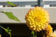 Bufiastych kwiatów Żółtych płatków palu Outdoors Zwarty zbliżenie Obraz Royalty Free