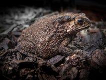 Bufo bufo жабы азиатской жабы общее, съемка фронта близкая поднимающая вверх бортовая Стоковое Изображение RF