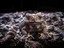 Bufo bufo жабы азиатской жабы общее, съемка фронта близкая поднимающая вверх Стоковые Фото