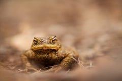 Bufo bufo 松鸡爱本质歌曲通配木头 美好的照片 捷克的本质 青蛙 从青蛙生活 敌意 截肢术 秀丽美妙的横向本质照片结构树通配木头 图库摄影