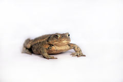 Bufo Royalty Free Stock Image