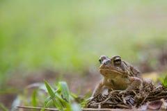 Bufo americanus - американская жаба Стоковая Фотография RF