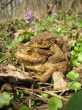 Bufo Royalty Free Stock Photo