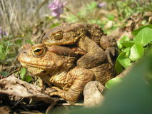 Bufo. In the Black Forest (Central Ukraine royalty free stock images