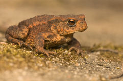 Bufo bufo. Portrait of a brown frog, amphibian Stock Photo