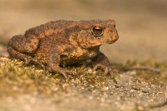 Bufo bufo. Portrait of a brown frog, amphibian stock photo