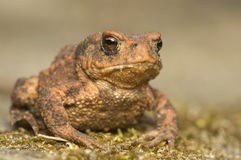 Bufo bufo. Portrait of a brown frog, amphibian royalty free stock images