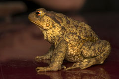 Bufo bufo Stock Photos