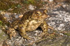 Bufo bufo. A frog of the genus Bufo in warning attitude stock photography